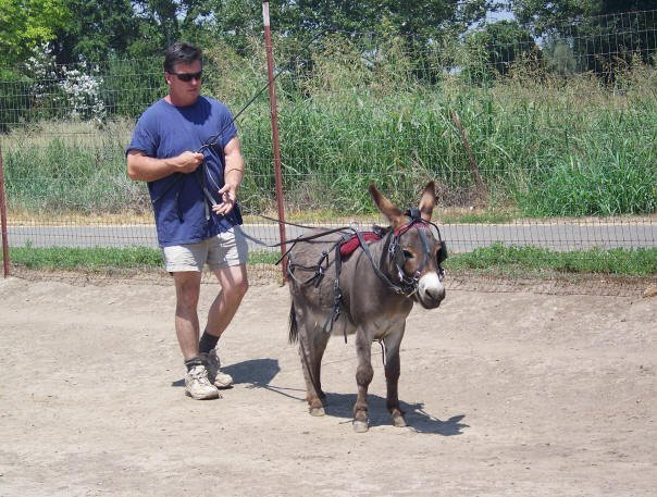 brown miniature donkey driving image