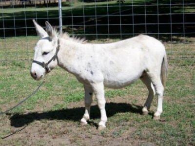 white miniature donkey image