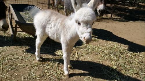 frosted white baby miniature donkey image