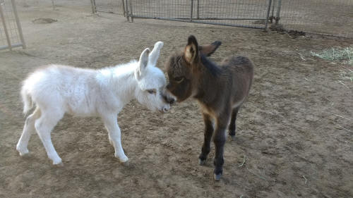 frosted white an brown  baby miniature donkey image