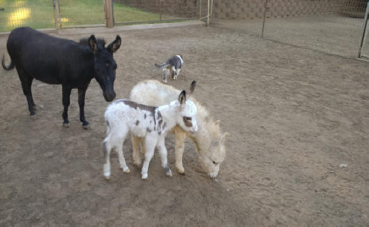 spotted baby and black miniature donkey image
