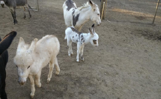 3 spotted baby miniature donkey image