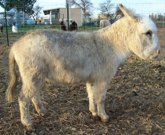 baby white miniature donkey image