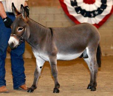 brown jack miniature donkey image
