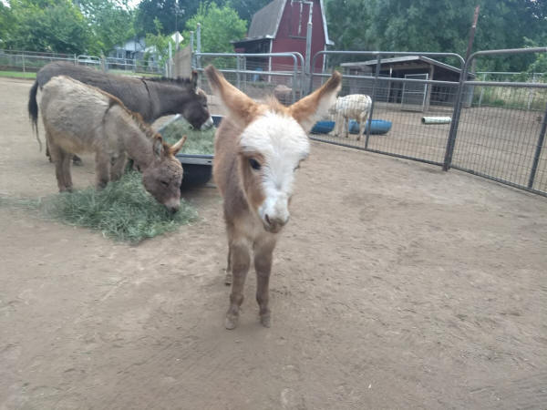 spotted baby miniature donkey image