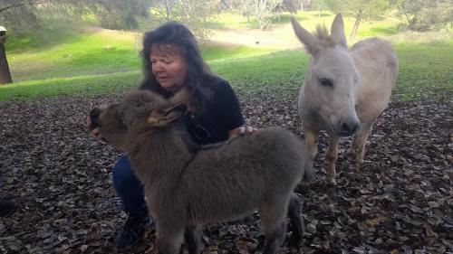 gray baby miniature donkey image