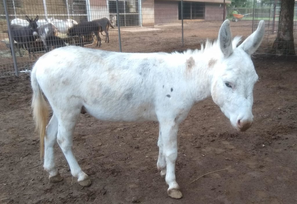 Jimmy Pops the fully frosted miniature donkey